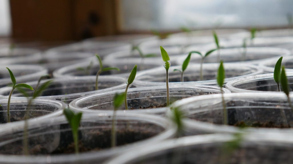 Seeds planted and growing in jars